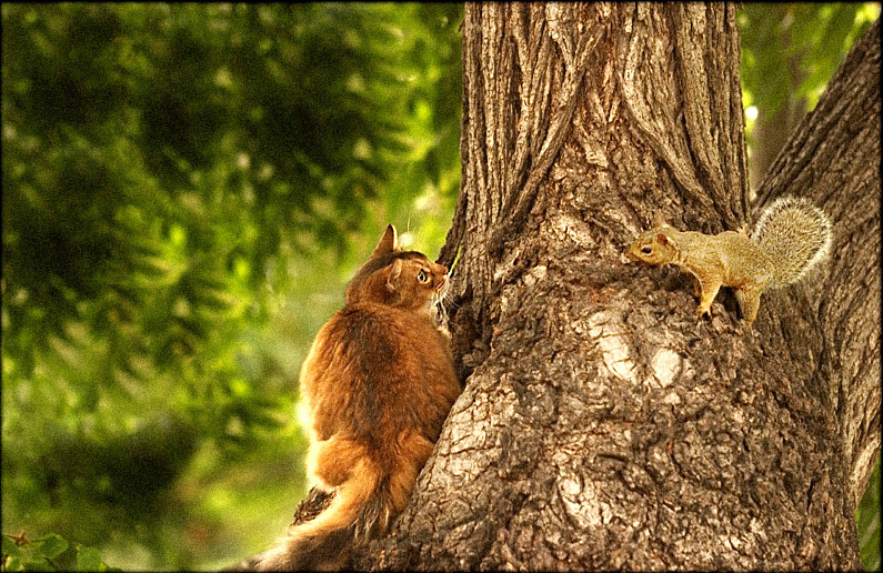 Somali cat confronts nasty squirrel in walnut tree....