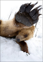 Bear swats at stupid photographer....