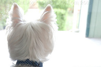 "West Highland Terrier, aka ""Westie"" awaits his families' return..."
