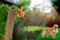 A dirty lens filter creating this unusual effect of this orange dragonfly and a Golden Retriever