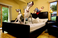 Great Danes like playing on the bed!