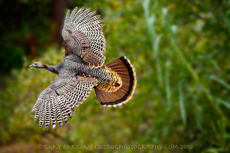 Wild turkey on the wing