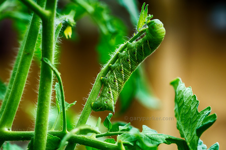 Tomato Horn Worms are interesting mini-monsters