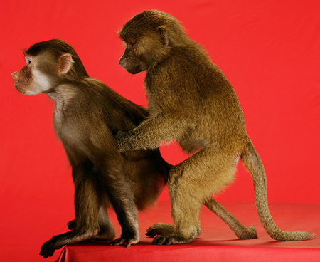 Uh, well, this was simply a romantic moment between a couple of monkeys who showed up on my Milk Bone red background....