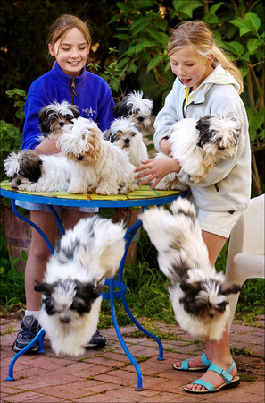 These Lamalese puppies evolved from mixing Lhasa Apsos with Maltese dogs