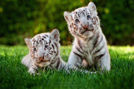 WHITE BENGAL TIGER KITTENS 10 DAYS OLD...