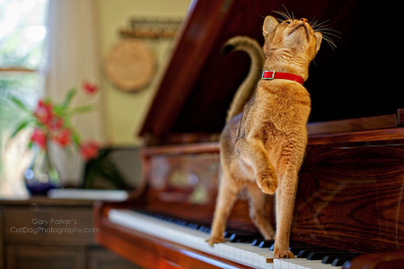 Abyssinian making music...