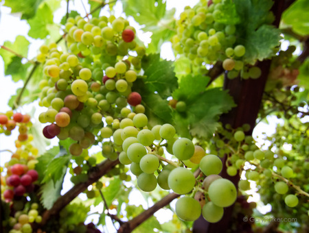 Sustainable gardening - table grapes..