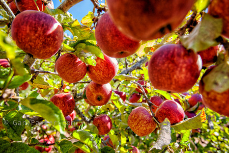 Cal Poly's Swanton Pacific Ranch Apple Orchard, a pick your own honor system orchard