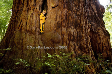 "Romeo Dev, at 2 ft 9"" tall and 21 pounds, fits neatly in a slit within the world's largest living thing - the giant redwood - this example being over 20' wide."