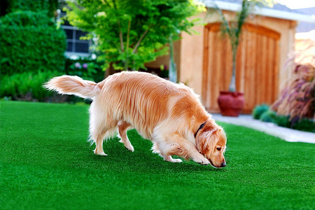 Smarty Jones, Golden Retriever, for Pup Gear's PupGrass. a lawn product for dogs
